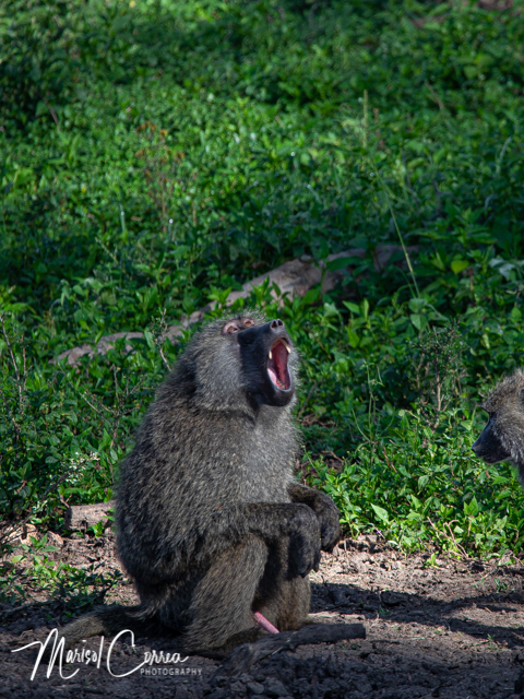 Excited baboon