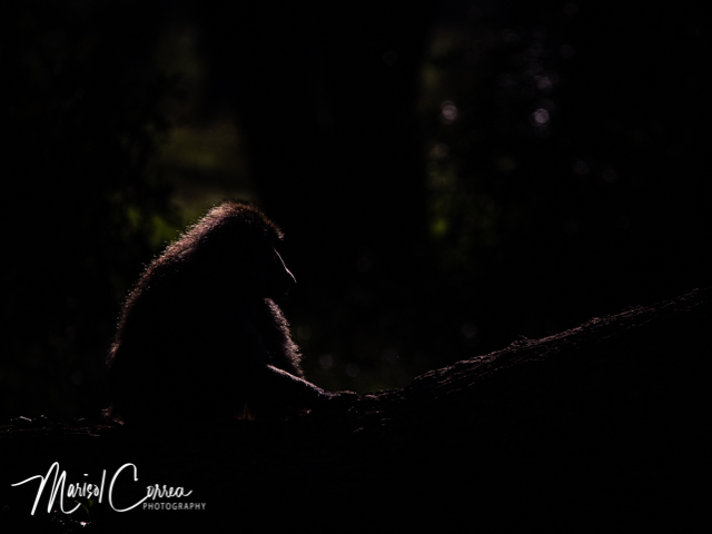 Silhouette of a baboon