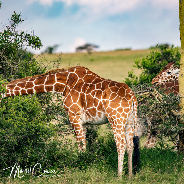 Giraffe in another dimension