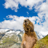 Marmots and Grossglockner, Austria